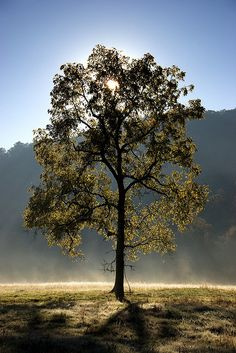 Backlit Tree    Great Smoky Mountains National Park    Live here and love it! Wouldnt change my location for anything!
