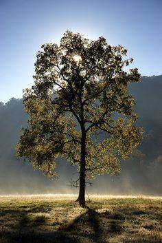 Backlit Tree    Great Smoky Mountains National Park  @curvetheory #backlit #curvetheory #photo #art