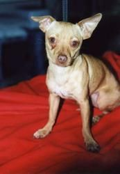 Ol'e is an adoptable Chihuahua Dog in Hutchinson, KS. Please contact k9resq@cox.net for more information about this pet. CONTACT US: The most efficient and effective way to receive a response is to co...