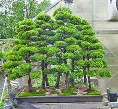 Botanical Name – Juniperus chinensis Bonsai Forest, Bonsai Art, Bonsai Plants, Bonsai Trees, Potted Trees Patio, Garden Trees, Garden Plants, Bonsai Tree Types, Plantas Bonsai