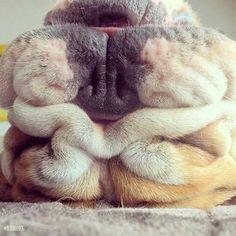 #EnglishBulldog #smush