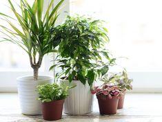 479 besten zimmerpflanzen bilder auf pinterest blumen pflanzen zimmerpflanzen und gartenideen. Black Bedroom Furniture Sets. Home Design Ideas