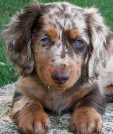 Chocolate Blue Merle Australian Shepard, possibly long haired dachshund?