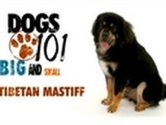 Dogs 101- Tibetan Mastiff The Tibetan Mastiff is an ancient breed and type of domestic dog originating with nomadic cultures of Central Asia.