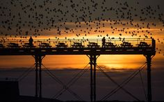 tens of thousands of starlings