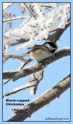 Black-capped Chickadee, RM Montmartre, SK, Mar 2018. Source: Anita Mae Draper Black Capped Chickadee, Kinds Of Birds, Birdwatching, Beautiful Birds, Animal Kingdom, Pet Birds, Potato, Wildlife, Photos