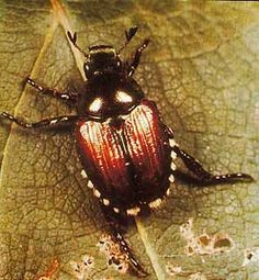 How to identify and get rid of Japanese beetles. Tips from The Old Farmer& Almanac. How to identify and get rid of Japanese beetles. Tips from The Old Farmers Almanac. Garden Bugs, Garden Insects, Garden Pests, Garden Care, Fruit Garden, Organic Gardening, Gardening Tips, Yard Service, Cucumber Beetles