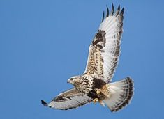 Learn how to identify Rough-legged Hawk, its life history, cool facts, sounds and calls, and watch videos. A hawk of the North, the Rough-legged Hawk breeds in Arctic tundra and taiga regions around the northern hemisphere. Both dark and light forms are common, with many birds intermediate between the extremes.