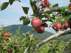 Graves Mountain Apples - the highlight of the Graves Mountain Apple Harvest Festival! Apple Festival, Food Festival, Pick Your Own Apples, Virginia Fall, Chincoteague Island, Apple Harvest, Apple Orchard, Activities To Do, Day Trips