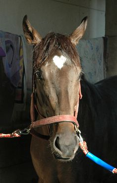 A filly belonging to Iwate horse racing in Japan with a distinctive heart shaped mark on her forehead.