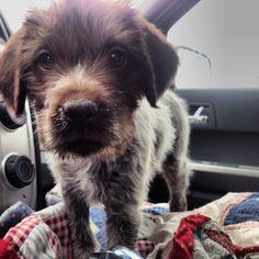 German wirehaired pointer puppy rescue  Winnie!