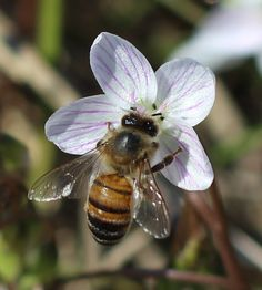 photo of bee on spring beauty (Claytonia virginica) uploaded by dave I Love Bees, Birds And The Bees, Bees And Wasps, Bee Art, Beautiful Bugs, Bugs And Insects, Bee Happy, Save The Bees, Bees Knees