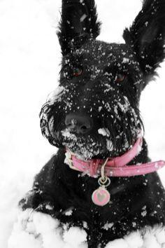 Scotties love snow