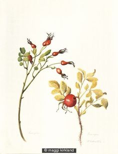 Rose hips from Rugosa