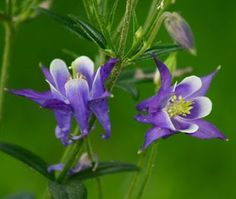 flowers for flower lovers.: Columbine flowers pictures.