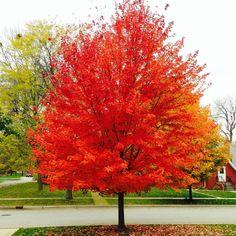 Клён красный Ред Сансет - один из лучших красных сортов клена по осеннему окрасу. 🍁 Клен Красный Закат краснеет раньше клена October Glory.… Plants, Flora, Plant, Planting