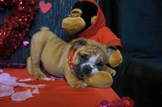 Olaf is available!!!! Call/text 606-524-5758  pottersbulldogs.net @pottersbulldogs on instagram