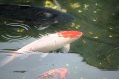 Vann i hagen.no - Stedet for ekte vann glede Koi Fish Pond, Koi Carp, Fish Ponds, Lily Pond, Freshwater Fish, Fresh Water, Shells, Pets, Garden