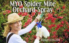 Spidermites are nasty little critters that seemingly take over otherwise beautiful shrubs and trees. Here's a simple, dirt cheap All Natural Buttermilk Spray that will keep the infestation away ~@budget101com  http://www.budget101.com/household-tips-n-tricks/spidermite-buttermilk-spray-1818.html