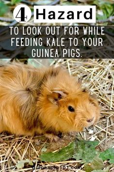 4 hazard of feeding kale to guinea pigs    what precautions you need to take I how to care for pet guinea pigs I pet baby guinea pig care I small animal care I guinea pig information I information on pet guinea pigs I what to do with pet guinea pigs I things to know about pet guinea pigs I pet guinea pig tips I care tips for pet guinea pigs I small pet homes I guinea pig cages I #guineapigsdiet  #guineapigs #smallpets Guinea Pig Food, Baby Guinea Pigs, Guinea Pig Care, Guinea Pig Information, Pigs Eating, List Of Vegetables, Pet Home, Things To Know, Kale