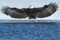 Eagle landing on ice (7-1) by JPatR, via Flickr