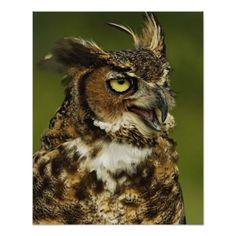 Great Horned Owl, Bubo virginianus, Captive 2 Print