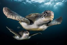 """Picture of an adult and young sea turtle swimming. I adjusted the setting of my camera and I waited for the turtles to come close enough to trigger my camera. After a little while, the turtles were circling around us and it was a great opportunity to photograph them."""" - Greg Lecoeur PHOTOGRAPH BY GREG LECOEUR, UPY 2017"""
