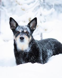 Räpsy, Lapinporokoira. Lapponian Herder, dog from Finnish Lapland. Photo @virpula