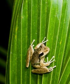 FROGS: Frogs dont just spend their days hopping from lily pad to lily pad. They also spend a good block of time slurping down bugs. These amphibians are crucial for controlling the insect population. Researchers are also finding that frogs are a good barometer for water quality. When the animals start to suffer, it is often a sign of a serious problem that has gone unnoticed or ignored.