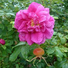 <3 Rosearie de l'Hay .. hybrid rugosa.