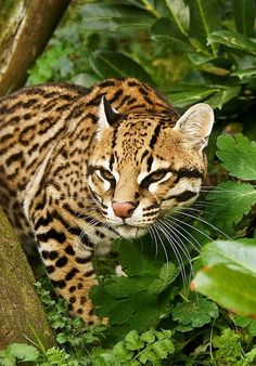 Awesome looking Ocelot