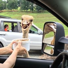 """Hello there and welcome to Virginia Safari Park my name is ostri...OMG SNACK!!!!"""