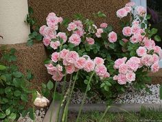 'Granny ' Rose Photo (The Fawn)