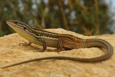 Cómo es la lagartija #lagartija #reptiles #curiosidades #curiosfera @curiosfera