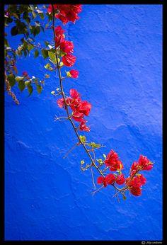 red flower on majorelle blue