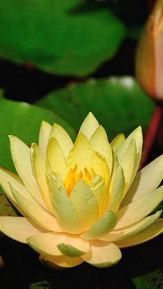 Water yellow lily