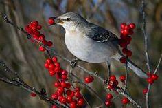 Mockingbirds love the berries in my yard