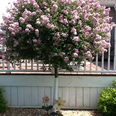 Lilac tree grew up.with one the scent instantly brings me back to.childhood