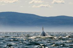 Baleine, whale Photos, Mountains, Nature, Travel, Whale, Voyage, Pictures, Viajes, Traveling