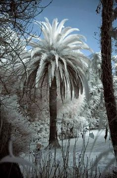 Snow on palm tree. Beautifully amazing. a lin
