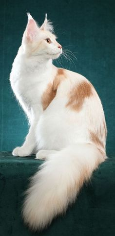 Adorable Beautiful Maine Coon Cat