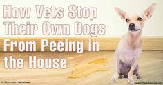 Dogs may urinate indoors because of excitement, submission or to mark their territory. Sometimes, an underlying medical condition may be the cause. http://healthypets.mercola.com/sites/healthypets/archive/2016/05/30/proper-dog-housetraining.aspx
