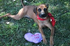 Sweetheart Linwood is an 8 month old Shepherd/Rhodesian Ridgeback mix. This adorable boy is great with people and dogs and has a calm, gentle, accepting nature. For more information on Linwood, visit https://toolkit.rescuegroups.org/javascript/v2.0/template1?animalID=7834372&key=Mqr6gy1W