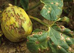 Boli si tratamente la castraveti, dovleci si pepeni Plantele din Familia Cucurbitaceae sunt plante anuale, ierboase, prevazute cu peri aspri si rigizi. Tulpina este culcata, adesea agatatoare, prin carcei.