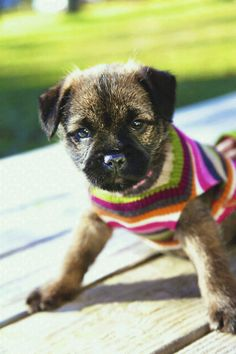 Border Terrier Puppy  Our Ginger!
