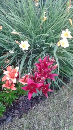 Day Lilies.