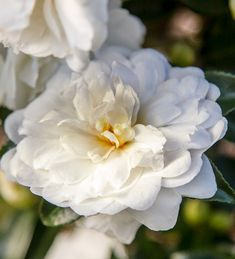 October Magic Bride Camellia glows with profuse, small, very double, pure white flowers. You'll love the dense conical form with very dark green foliage. Evergreen Shrubs, Flowering Shrubs, Trees And Shrubs, Small Garden Nooks, Small Gardens, Water Wise Landscaping, Landscaping Around House, Landscaping Plants, Shade Garden