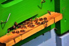 Méh, Méhek, Mézelő Méh, Állattartó