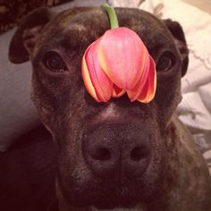 Focused Floral  #spring #flowers #tewtally #tulips #cute #dog #snoot #velveteen #ears #rescuedog #bridle #pitbull #boxer