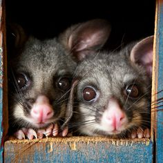 "tiny-creatures: "" ""Poppy & Ivy"" Brushtail Possums by Amber Williams "" Australian Possum, Australian Parrots, Beautiful Creatures, Animals Beautiful, Baby Animals, Cute Animals, Australia Animals, Garden Animals, Wild Creatures"